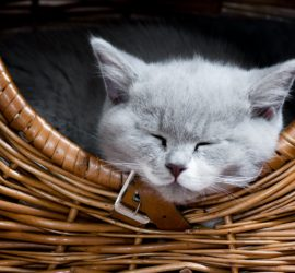 British Shorthair Cat sleeping in wicker basket