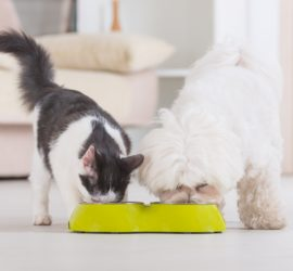 Maltese dog and black and white cat eating from food bowl